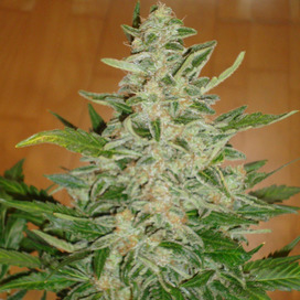 Auto Moby Dick